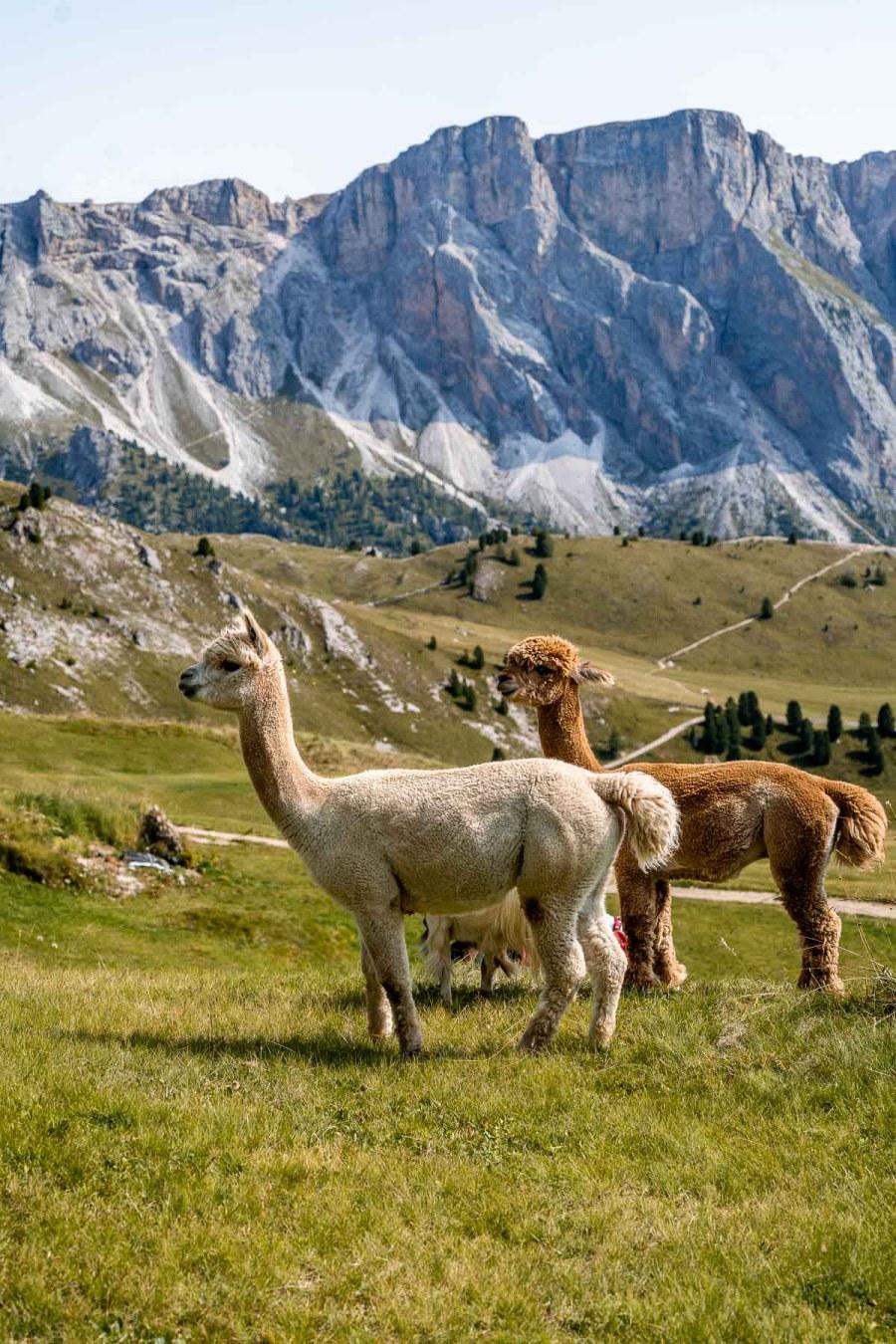 Llamas at Seceda in the Dolomites