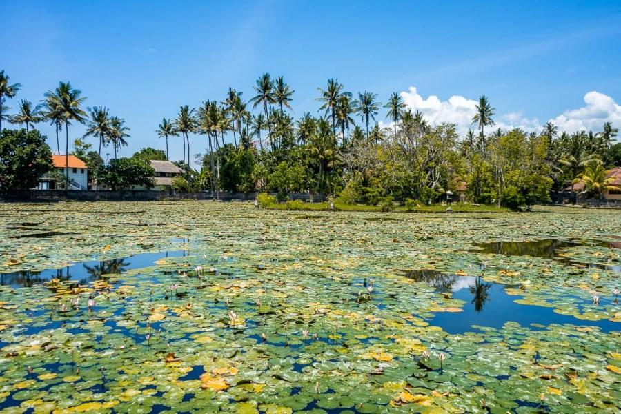 Lotus Lagoon in Cadidasa, Bali