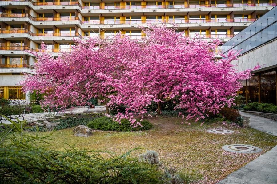 Cherry blossom on Margaret Island in Budapest