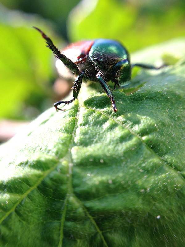 Japanese Beetle : Photography fun with the olloclip.