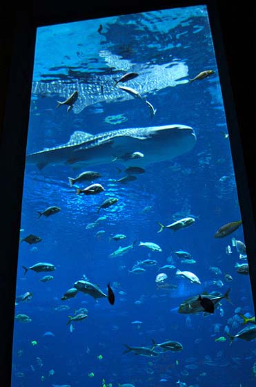 whale at the Georgia Aquarium