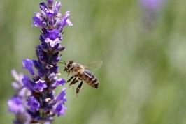 lavande abeille 9297221725_b91422bced_o