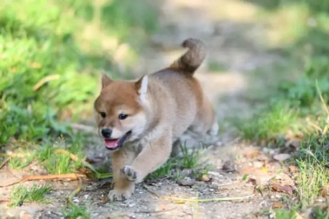 柴犬の走る姿