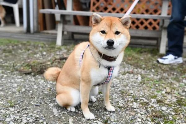 赤柴柚子ちゃん