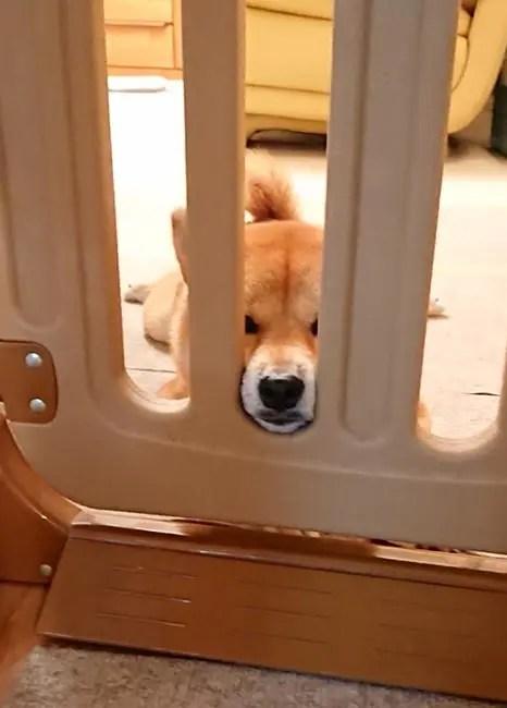 伏せをする柴犬柚子ちゃん