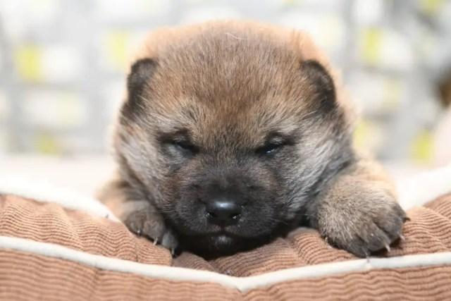 可愛い柴犬の子犬の写真