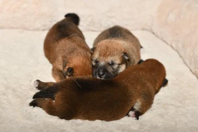 生後7日目の柴犬の子犬たちの写真