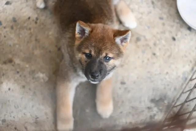 生後59日目の柴犬の子犬の写真