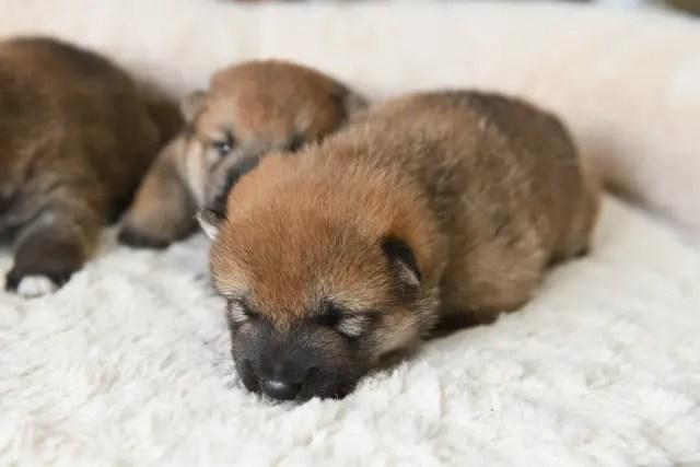 生後16日目の柴犬の子犬