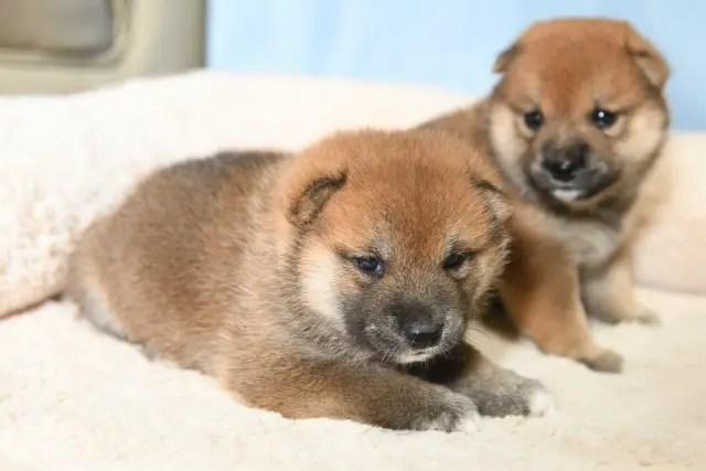 生後26日目の柴犬の子犬たちの写真
