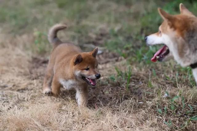 柴犬菊次郎君の写真です。