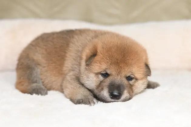 生後20日目の柴犬の子犬