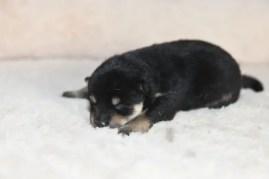 黒柴オスの子犬の写真