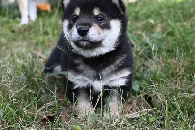 生後29日目の黒柴の子犬の写真