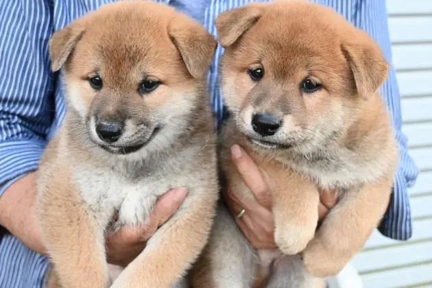 生後47日目の柴犬の子犬の写真です。