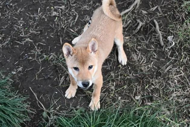 生後4か月の柴犬菊次郎君の写真