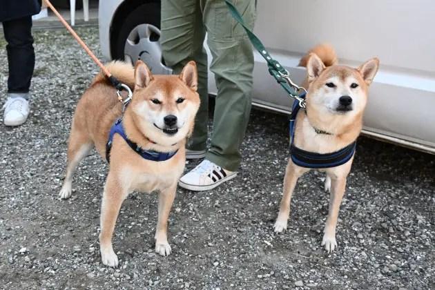 柴犬リク君(右)と柴犬福丸君(左)の写真