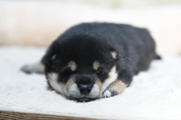 生後20日目の黒柴の子犬