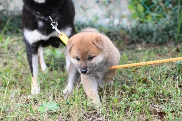 生後39日目の柴犬の子育て