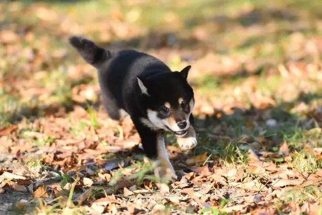 走り回る黒柴小太郎君の写真