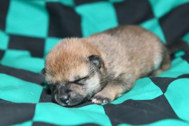 生後7日の柴犬の子犬の写真
