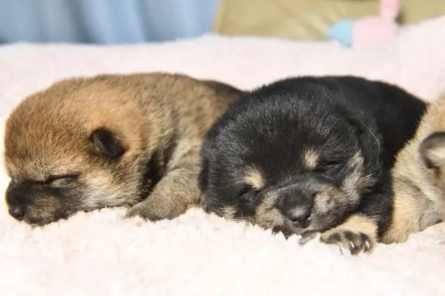 生後16日目の柴犬の子犬の写真