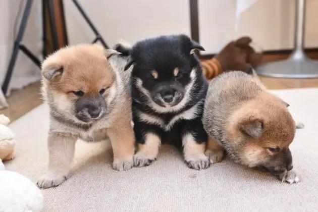 生後30日の柴犬の子犬たちです。