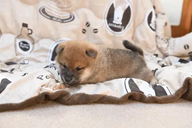 生後31日目の柴犬の子犬たちの写真です。