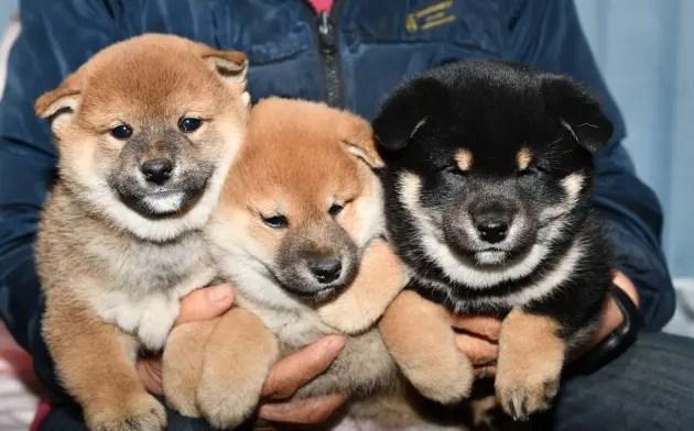 生後42日目の柴犬の子犬たちの写真