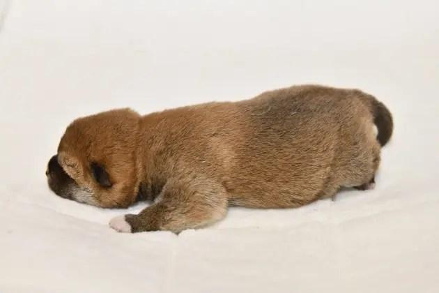 生後7日目の柴犬の子犬