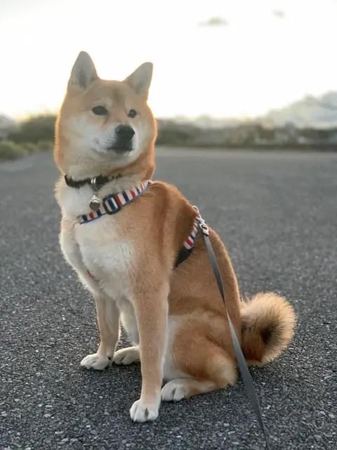 柴犬キンちゃんの写真