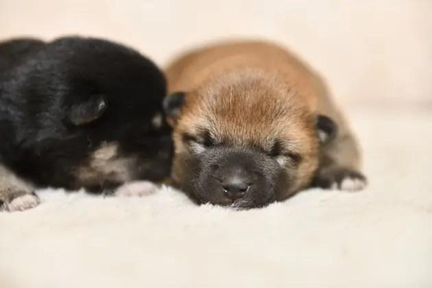 生後7日目の柴犬の子犬の写真