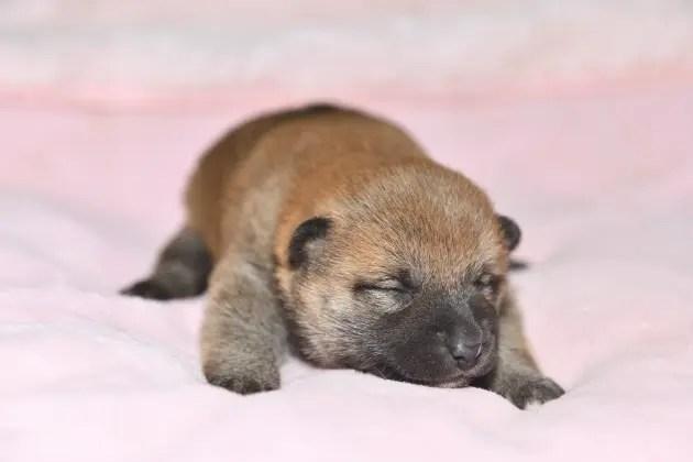 生後14日目の柴犬メスの子犬の写真