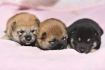 3匹の柴犬の子犬の写真