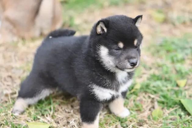 生後30日目の柴犬の子犬