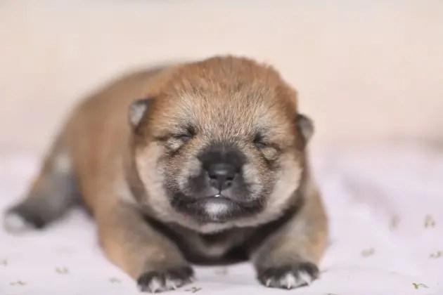 生後9日目の柴犬の子犬の写真
