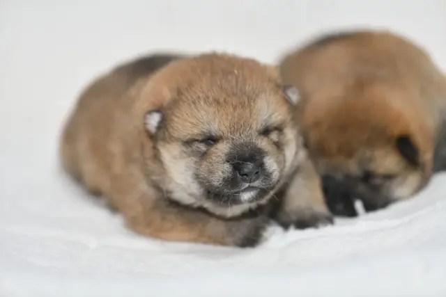 生後11日目の柴犬の子犬