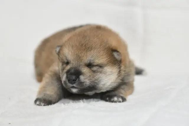 生後13日目の柴犬の子犬