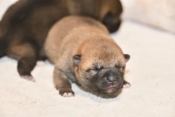 生後5日目の柴犬の子犬