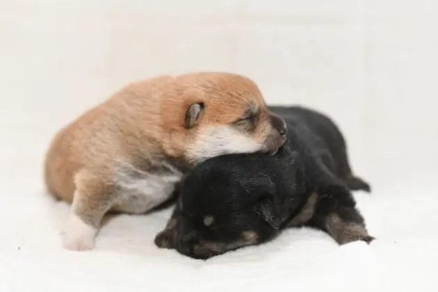 生後8日目の柴犬の子犬