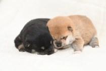 生後12日目の柴犬の子犬の写真