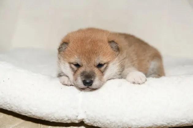 生後20日目の柴犬の子犬です。