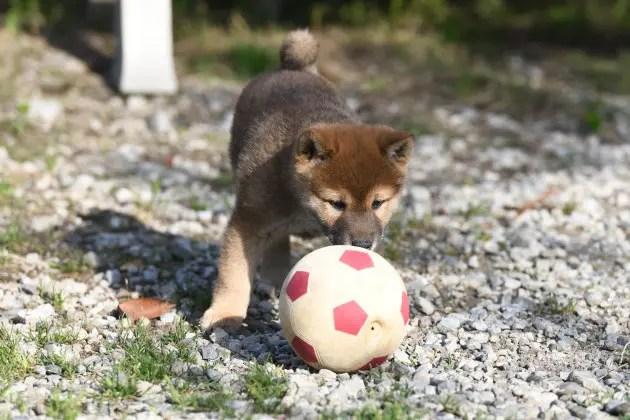 ボールで遊ぶ柴犬の子犬の写真