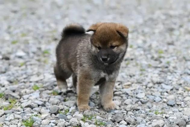 生後33日目の柴犬の子犬