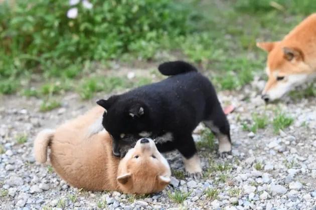 生後40日目の柴犬の子犬の写真