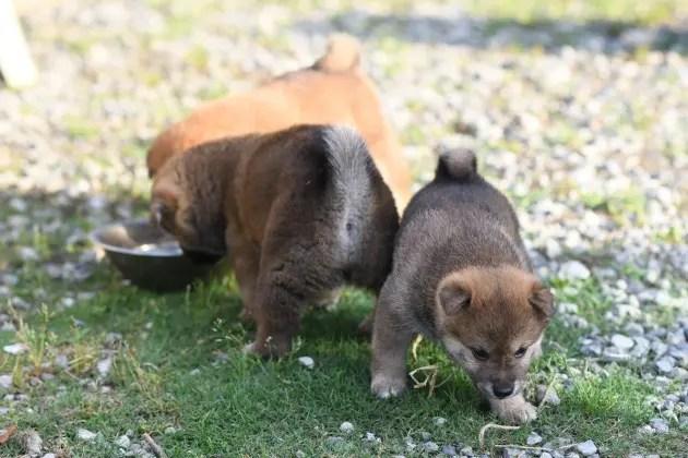 生後36日目の柴犬の子犬の写真