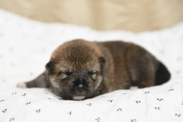 生後8日目の柴犬オスの子犬の写真
