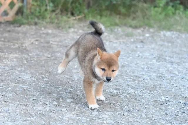 ワクチン済みの柴犬の子犬の写真