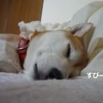 赤ちゃんみたいに丸まって寝る柴犬が可愛すぎる!