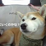 柴犬まるは車に乗っておでかけが大好き!立川のおおにし動物病院で耳掃除も!